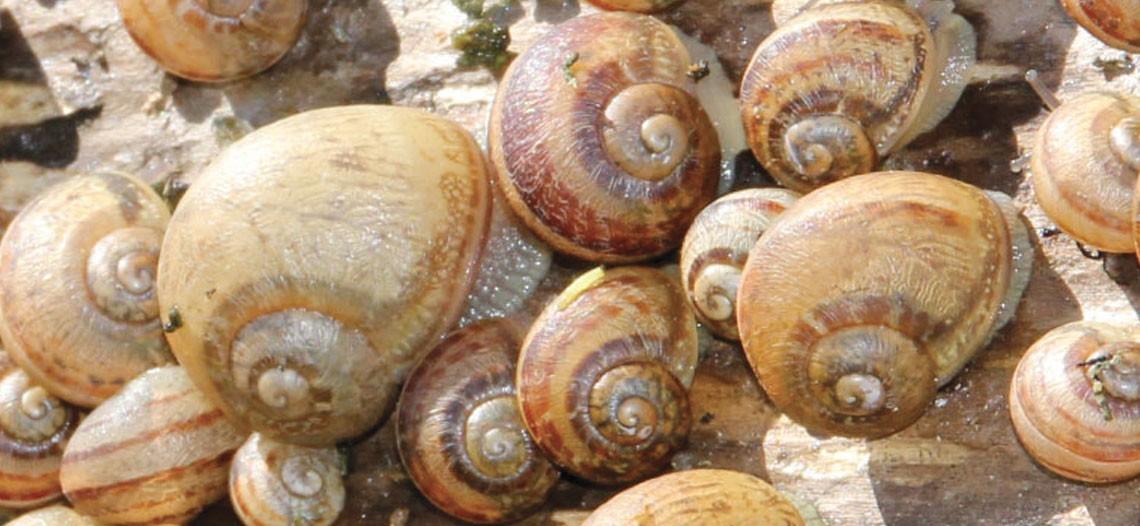 L 39 levage d 39 escargots gros gris blog de la maison royer - La maison des escargots ...