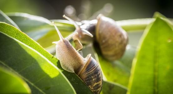 Reproduction des escargots