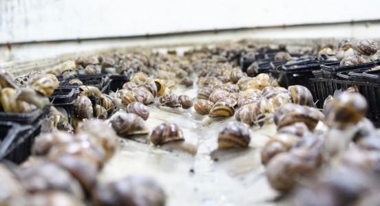 Naissance des escargots de la Maison Royer