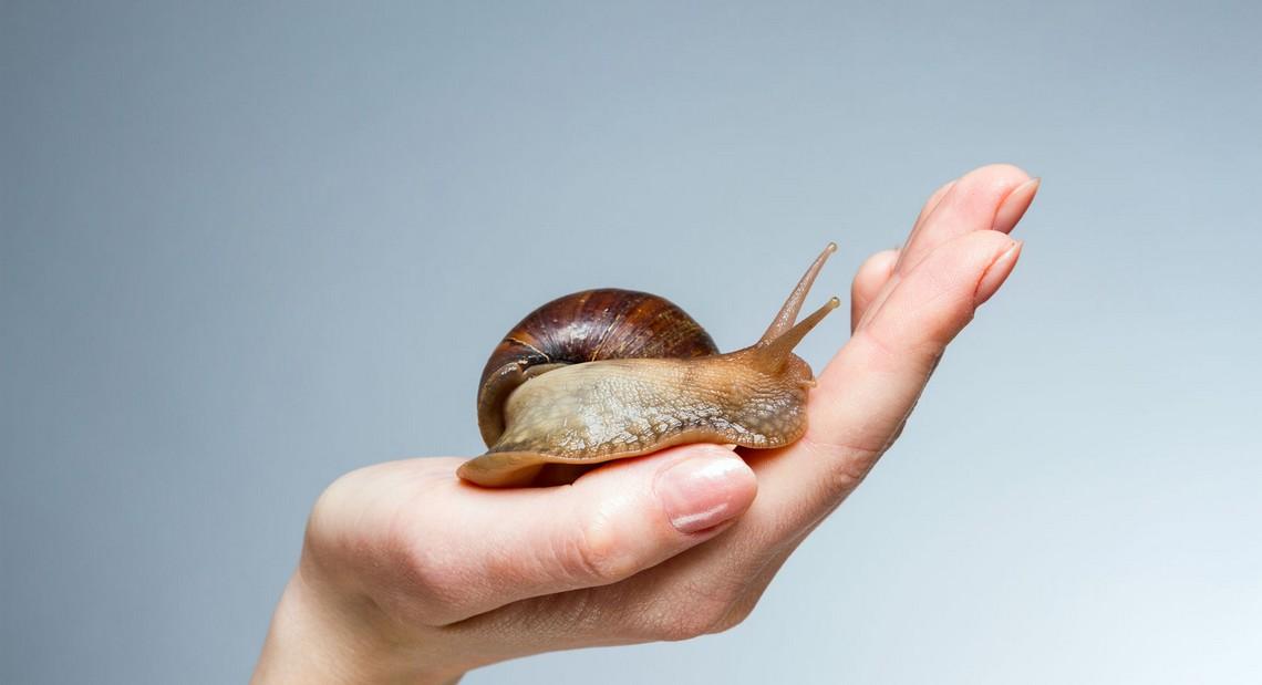 Le gros gris un escargot d 39 levage r put blog de la maison royer - La maison des escargots ...