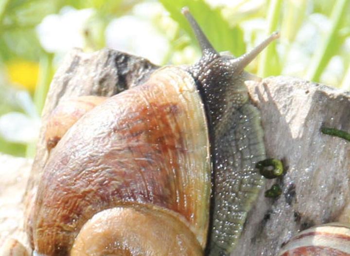 elevage-escargot-gros-gris