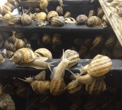 Hibernation escargots