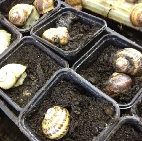 Les escargots creusent un trou pour  y pondre leurs oeufs