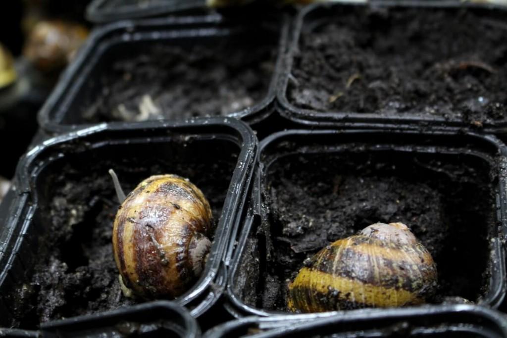 Les escargots pondent jusqu'à 100 oeufs