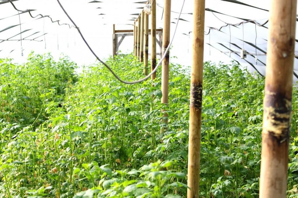 Serre remplie de radis fourragers