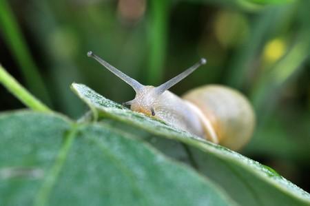 origines vertus bave escargot