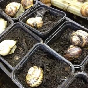 L'accouplement des escargots